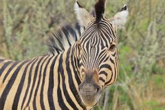 Zebra - African Wildlife Background - Stripes of Nature Royalty Free Stock Images
