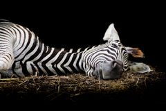 Zebra/African Zebra sleeping on field. Royalty Free Stock Photo