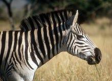 Zebra africana Fotografia de Stock