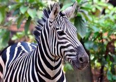 Zebra africana Imagens de Stock
