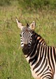 Zebra africana Fotografie Stock