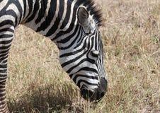 Zebra africana Immagini Stock Libere da Diritti