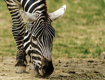 Zebra Africana Lizenzfreies Stockfoto