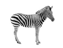 Zebra africana dell'animale selvatico con le belle bande Immagini Stock