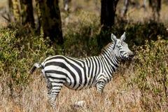 Zebra in Afrika Stockbilder