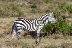 Zebra in Afrika Lizenzfreie Stockfotos