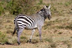 Zebra in Afrika Lizenzfreie Stockfotografie