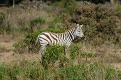 Zebra in Afrika Stockfotos