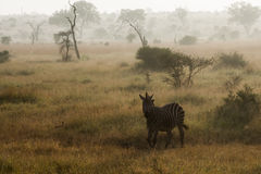 Zebra in Afrikaans sunrising landschap Royalty-vrije Stock Fotografie