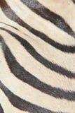 Zebra - afrikanische wild lebende Tiere - natürliche Schwarzweiss-Kunst Lizenzfreie Stockfotografie