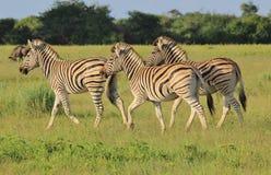 Zebra - afrikanischer Hintergrund der wild lebenden Tiere - galoppierende Streifen Stockfotografie