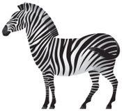Zebra, afrikanisches Tier innen   Stock Abbildung
