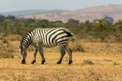 zebra afryce Zdjęcia Stock