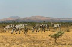 zebra afryce Obrazy Royalty Free