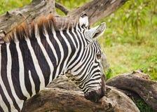 zebra afrykański E obrazy royalty free