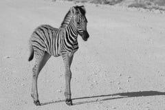 Zebra - Afrykański przyrody tło - dziecka zwierzęcia prostota Obraz Royalty Free