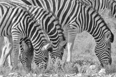 Zebra - Afrykański przyrody tło - Pasiasta rodzina Fotografia Royalty Free
