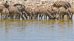 Zebra - Afrykański przyrody tło - Piękne ikony Fotografia Royalty Free