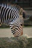 zebra afrykański Obrazy Stock
