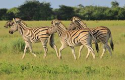 Zebra - Afrykański przyrody tło - cwałowanie lampasy Fotografia Stock