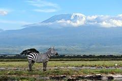 zebra afryki Zdjęcie Stock