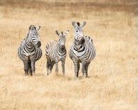 zebra afryki Obraz Royalty Free