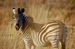Zebra in the afternoon sun royalty free stock photography