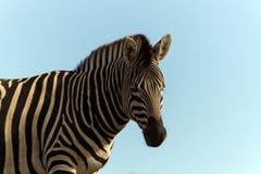Zebra against a blue sky Royalty Free Stock Photo