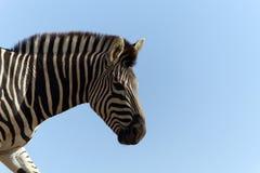 Zebra against a blue sky Stock Image
