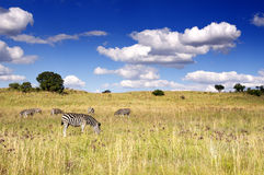Zebra against a cloudy african sky Royalty Free Stock Images