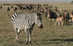 Zebra againts Herd of Wildebeest Stock Photo