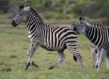 Zebra Aggression. Male zebra showing aggression to a young zebra by biting it Stock Photography