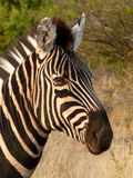 Zebra alert Stock Photos
