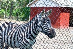 Zebra all'azienda agricola di salvataggio immagine stock