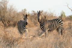 Zebra all'indicatore luminoso di sera Immagini Stock