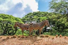 Zebra allo zoo Immagini Stock