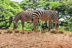 Zebra allo zoo Fotografia Stock Libera da Diritti