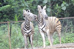 Zebra allo zoo Bandung Indonesia 6 fotografie stock libere da diritti