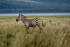Zebra alone. Lone zebra in Tanzania stock photo