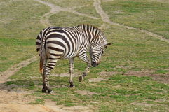 Zebra Alone. Grant`s Zebra pawing at the ground in an open field Royalty Free Stock Photography