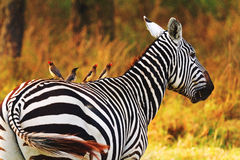 Zebra, Amboseli Stock Images