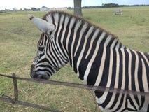 Zebra amichevole Fotografie Stock Libere da Diritti