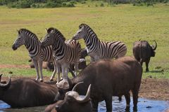 Zebra & Buffalo Immagini Stock
