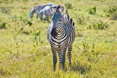 Zebra & Vogel royalty-vrije stock afbeeldingen