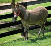 Zebra And Donkey Hybrid In Holding Pen Stock Photo