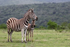 Zebra And Fowl. South Africa Stock Photos