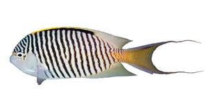Zebra angelfish. (Genicanthus caudovittatus) isolated on white background royalty free stock image