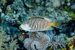 Zebra angelfish. (Genicanthus caudovittatus) in the Red Sea, Egypt stock photo