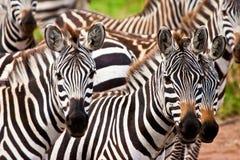 Zebra animal. A herd of zebra animals in closeup Royalty Free Stock Photo