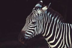 Zebra Animal Royalty Free Stock Photos